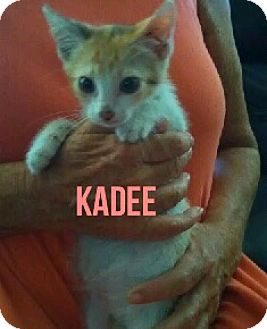 Calico Kitten for adoption in Glendale, Arizona - KADEE