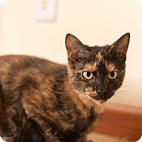 Domestic Shorthair Cat for adoption in Manitowoc, Wisconsin - Addy
