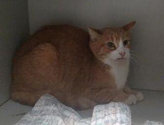 Domestic Shorthair/Domestic Shorthair Mix Cat for adoption in Ashtabula, Ohio - Josh