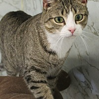 Domestic Shorthair Cat for adoption in Richand, New York - Shirely