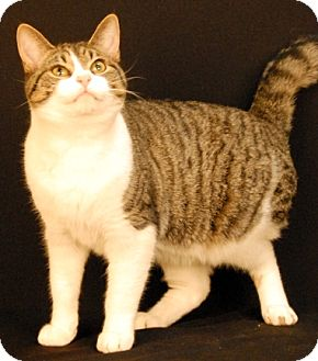 Domestic Shorthair Cat for adoption in Newland, North Carolina - Slugger
