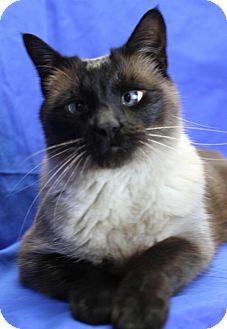 Siamese Cat for adoption in Winston-Salem, North Carolina - Muffy