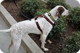 German Shorthaired Pointer Dog for adoption in Greensboro, Georgia - Sadie