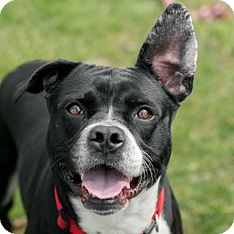Pit Bull Terrier/Mixed Breed (Medium) Mix Dog for adoption in Westfield, New York - Ace