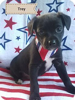 Chihuahua Mix Puppy for adoption in Marlton, New Jersey - Trey
