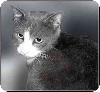Domestic Shorthair Cat for adoption in San Clemente, California - TOM TOM