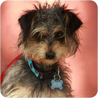 Affenpinscher Mix Dog for adoption in Denver, Colorado - Elmer