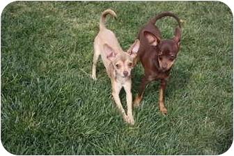 Chihuahua Dog for adoption in California City, California - Chula & Pancho
