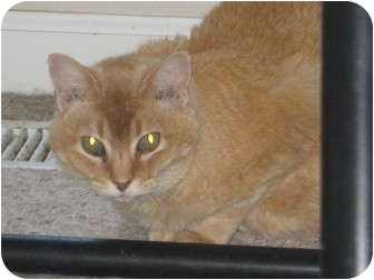 Domestic Shorthair Cat for adoption in Jacksonville, North Carolina - Red