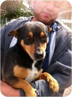 Dachshund/Miniature Pinscher Mix Dog for adoption in Encino, California - Archie