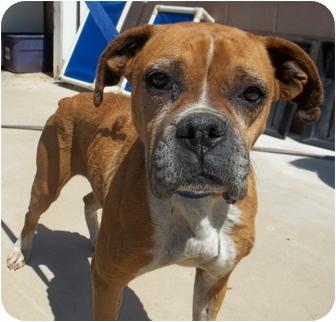 Boxer Mix Dog for adoption in Gaffney, South Carolina - Patty