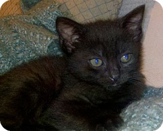 Domestic Shorthair Kitten for adoption in Winston-Salem, North Carolina - Lexie