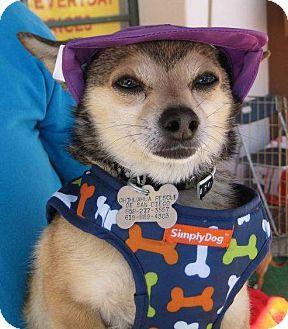 Chihuahua Mix Dog for adoption in San Diego, California - Felix