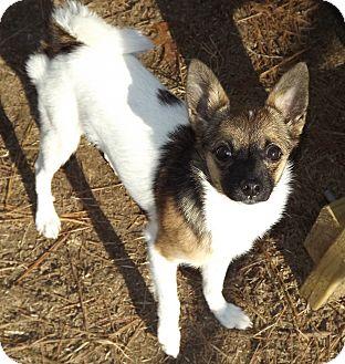 Papillon/Pomeranian Mix Dog for adoption in Murphysboro, Illinois - Madison