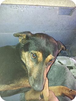 Shepherd (Unknown Type) Mix Dog for adoption in San Diego, California - Megan URGENT