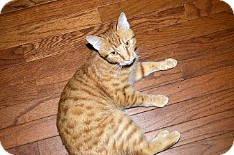 Domestic Shorthair Cat for adoption in Xenia, Ohio - George