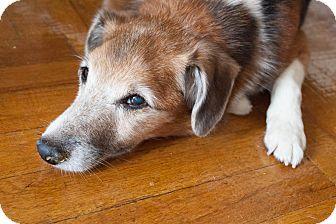 Sheltie, Shetland Sheepdog Mix Dog for adoption in NEW YORK, New York - Cleopatra