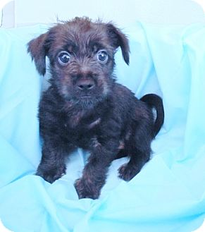 Cairn Terrier/Yorkie, Yorkshire Terrier Mix Puppy for adoption in Umatilla, Florida - Raven
