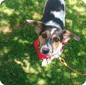 Beagle/Bluetick Coonhound Mix Dog for adoption in Rochester, New York - Smokey - sweet boy, reduced!