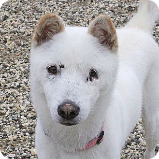 Jindo Mix Dog for adoption in Sacramento, California - Camie!
