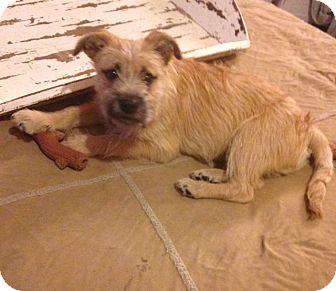 Border Terrier Mix Dog for adoption in Woonsocket, Rhode Island - Westgate