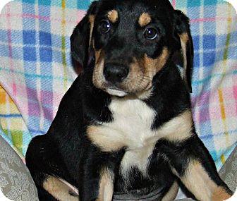 Doberman Pinscher/Labrador Retriever Mix Puppy for adoption in ST LOUIS, Missouri - Dasha