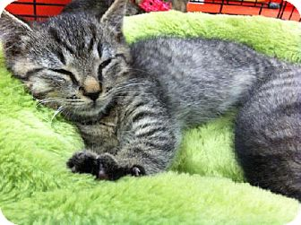 Domestic Shorthair Cat for adoption in Wilmore, Kentucky - Rascal