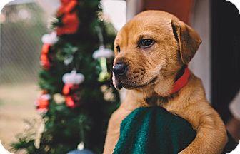 Shar Pei Mix Puppy for adoption in Gadsden, Alabama - Genny