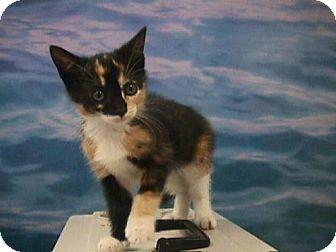 Calico Kitten for adoption in Fayetteville, Georgia - KoKo