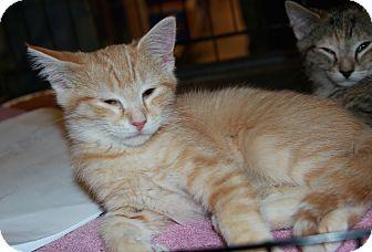 Domestic Shorthair Kitten for adoption in Rochester, Minnesota - Lady