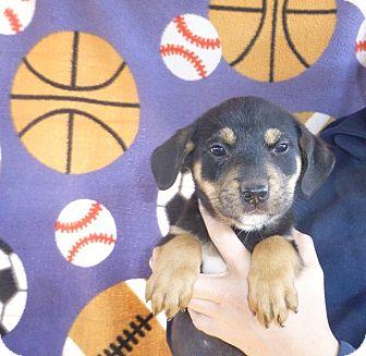 Rottweiler/Labrador Retriever Mix Puppy for adoption in Oviedo, Florida - Taffy