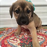Adopt A Pet :: Mallory - Russellville, KY