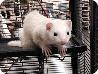 Ferret for adoption in Cheektowaga, New York - Bear and Taz