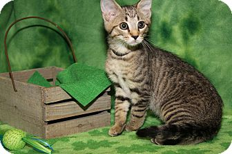 Domestic Shorthair Cat for adoption in Marietta, Ohio - Chocolate Chip -Sasha's Kitten