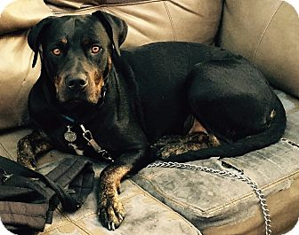 Rottweiler/Labrador Retriever Mix Dog for adoption in Van Nuys, California - Baby Girl