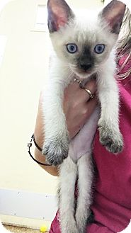 Siamese Kitten for adoption in Toledo, Ohio - Skippy John Jones