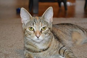 Domestic Shorthair Cat for adoption in Morehead, Kentucky - Ruby ADULT FEMALE *BONDED PAIR*