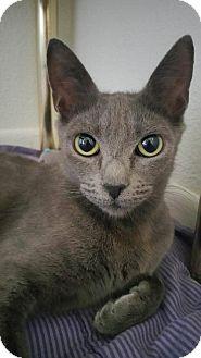 Russian Blue Cat for adoption in Corona, California - JASMINE