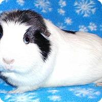 Adopt A Pet :: Bella - Steger, IL