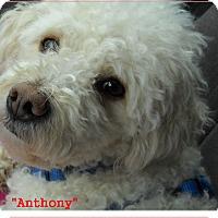 Adopt A Pet :: Anthony(in adoption process) - El Cajon, CA