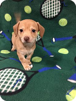 Chihuahua/Dachshund Mix Puppy for adoption in Oxford, Connecticut - Alden