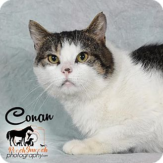 Domestic Shorthair Cat for adoption in Broadway, New Jersey - Conan