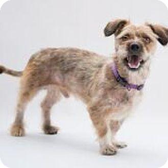 Terrier (Unknown Type, Medium)/Shih Tzu Mix Dog for adoption in Alpharetta, Georgia - Rain