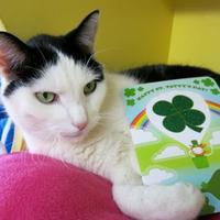 Adopt A Pet :: Mickie - Northbrook, IL