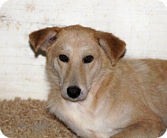 German Shepherd Dog Mix Dog for adoption in Liberty Center, Ohio - Sydney