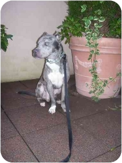 Pit Bull Terrier/Catahoula Leopard Dog Mix Dog for adoption in Weehawken, New Jersey - Blue