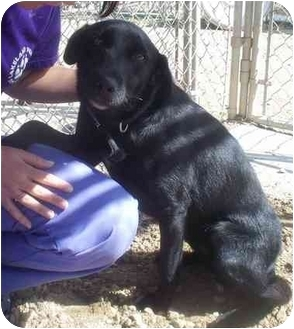 Labrador Retriever Mix Dog for adoption in Cold Lake, Alberta - Lola