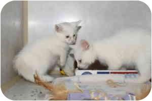Domestic Shorthair Kitten for adoption in Stillwater, Oklahoma - Levi