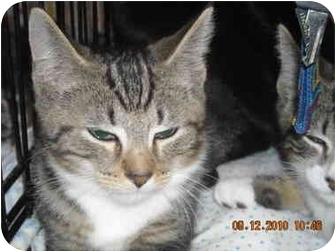 Domestic Shorthair Kitten for adoption in Riverside, Rhode Island - Clarke