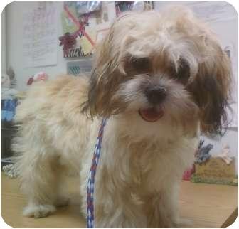 Shih Tzu/Maltese Mix Puppy for adoption in Los Angeles, California - Della